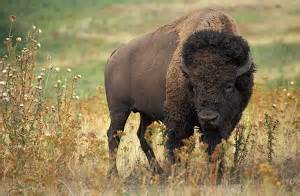 American Bison (became official state animal in 1972)